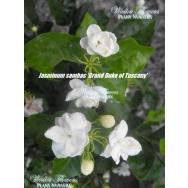 'GRAND DUKE OF TUSCANY' – Jasminum sambac flore plena 125mm