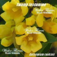 DWARF CAROLINA JESSAMINE – Gelsemium rankinii 125mm