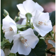 CAPE WEDDING FLOWER – Dombeya tiliacea 140mm
