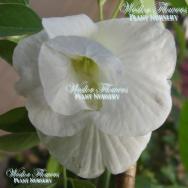 BUTTERFLY PEA DOUBLE WHITE FORM – Clitorea ternatea alba flore plena 125mm