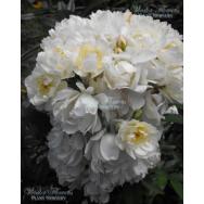 CLIMBING ROSE – PURITY – Rosa banksiae alba 140mm