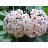 HOYA CARNOSA – Wax Flower 130mm Hanging Basket
