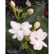 'DUCHESS' – Jasminum sambac – 125mm