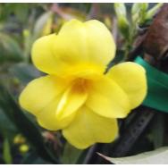 CAROLINA JESSAMINE DOUBLE FORM – Gelsemium flore plena 125mm