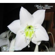 AMAZON LILY – Eucharis grandiflora (140mm pot)