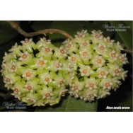 HOYA ACUTA -GREEN FORM 75mm