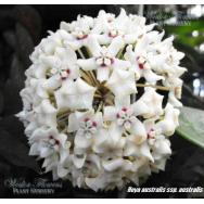 HOYA- australis ssp. australis- 130mm Hanging Basket