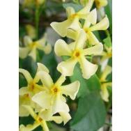 'YELLOW STAR' – Trachelospermum jasminoides lutea   RARE 125mm