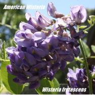 AMERICAN WISTERIA – Wisteria frutescens 175 mm