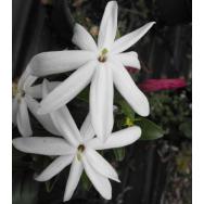 STARRY JASMINE – Jasminum multipartitum 125mm