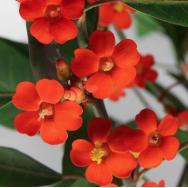 SCARLET PLUME – Euphorbia fulgens 125mm