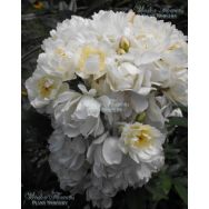 CLIMBING ROSE – PURITY – Rosa banksiae alba 140mm