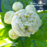 'CHINESE EMPEROR' – Jasminum sambac flore plena 125mm