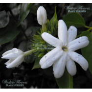 ARABIAN JASMINE – Jasminum sambac 125mm