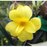 CAROLINA JESSAMINE DOUBLE FORM – Gelsemium flore plena 125mm