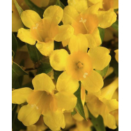 CAROLINA JESSAMINE – Gelsemium rankini 125mm