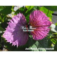 BOW TIE VINE – Dalchampia aristolochiaefolia 125mm