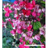 PINK BLEEDING HEART VINE – Clerodendrum speciosum 125mm