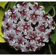 HOYA PUBLICALYX cv. 'Royal Hawiian Purple' 130 mm Hanging Basket
