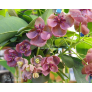 CHOCOLATE VINE – Akebia quinata 125mm