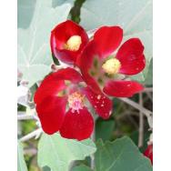 MEXICAN MALLOW BUSH – Phymosia umbellata 125mm RARE