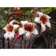 SPIDER TRESSES – Strophanthus preussii 140mm Rare