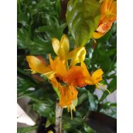 YELLOW DRAGON-Ruttya fruticosa 125 mm