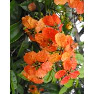 ORANGE CLIMBING BAUHINIA – Bauhinia kockiana – 125 mm Rare