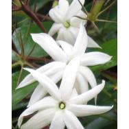 ANGELWING JASMINE – Jasminum nitidum 125 mm