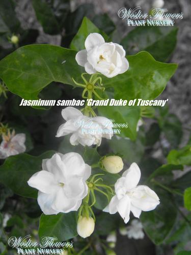 'GRAND DUKE OF TUSCANY' - Jasminum sambac flore plena 125mm