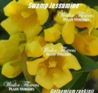 DWARF CAROLINA JESSAMINE - Gelsemium rankinii 125mm