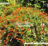 CANDY CORN VINE - Manettia inflata cv. 'John Elsley' 125mm