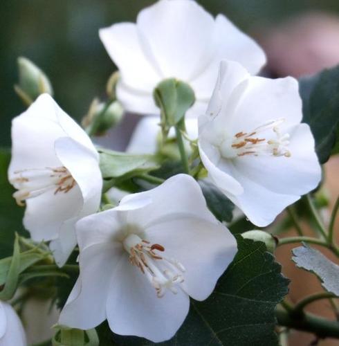 CAPE WEDDING FLOWER - Dombeya tiliacea 125mm