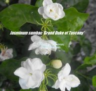 JASMINUM 'GRAND DUKE of TUSCANY' - Jasminum sambac flora plena 75mm
