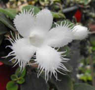 LACE FLOWER VINE - Episcea dianthiflora 130mm Hanging Basket