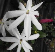 STARRY WILD JASMINE - Jasminum multipartitum 125mm