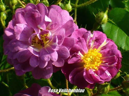 CLIMBING ROSE - Veilchenblau 200mm