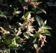 STAR JASMINE - Trachelospermum jasminoides tricolour 175mm