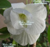 BUTTERFLY PEA DOUBLE WHITE FORM - Clitorea ternatea alba flore plena 125mm