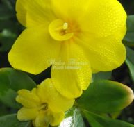 PRIMROSE JASMINE -Jasminum mesneyi 125mm