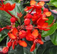 RED GLORY BOWER VINE - Clerodendrum splendens