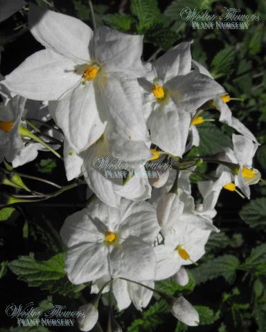 POTATO VINE - Solanum jasminoides