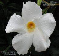 'WHITE MANDEVILLA' - 'Mandevilla boliviensis 125mm
