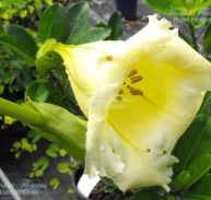 CUP of GOLD - Solandra longiflora 175mm (Rare)
