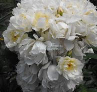 CLIMBING ROSE - PURITY - Rosa banksiae alba 200mm