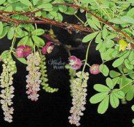 Akebia longirascimosa - Chocolate vine (Rare)