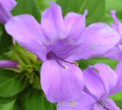 Barleria cristata - Bluebell Barleria or Phillipine Violet