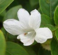 Barleria cristata alba- White Bluebell Barleria or Phillipine Violet
