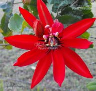 RED FLOWERING PASSIONFRUIT-Passiflora coccinea 125mm