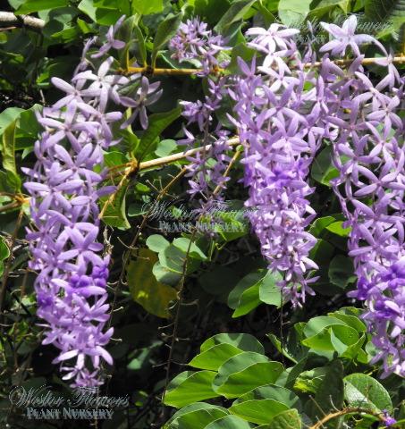 'Purple Passion' - Petrea volubilis kohautiana 125mm